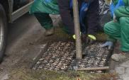 W Rybniku będą chronić drzewa przed solą
