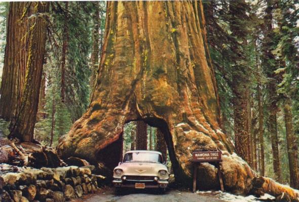 Wawona Tree – drzewo, które zostało tunelem