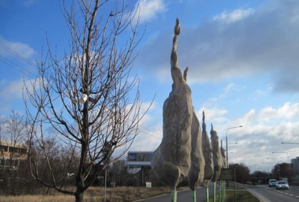 Poznań: Zabezpieczają drzewa przed działaniem soli drogowej